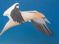 Gannet-in-Flight
