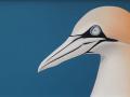 Gannets-left